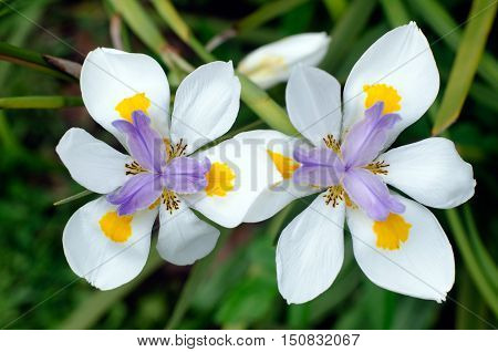 Fortnight Lily, Dietes Iridioides