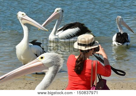 Tourist photographing Pelicans at Labrador Gold Coast Australia.