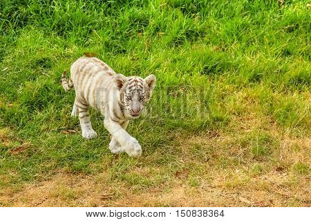 A small white tiger, Panthera tigris, walking in the green grass. The white tiger is present only in the Bengal tiger, the only one with the recessive gene.