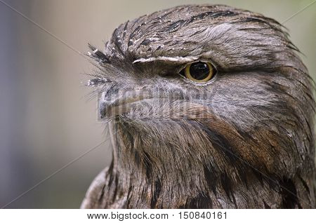 this is a close up of tawny frogmouth