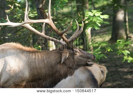 Bull elk with head tilted back bugling and a cow in background