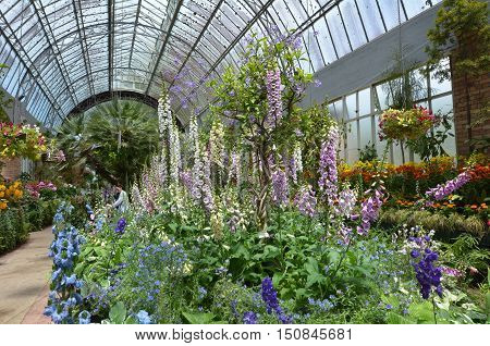 Many foxglove flowers blossom in a greenhouse.