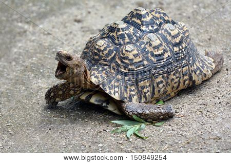 Leopard Tortoise Large And Attractively Marked Tortoise