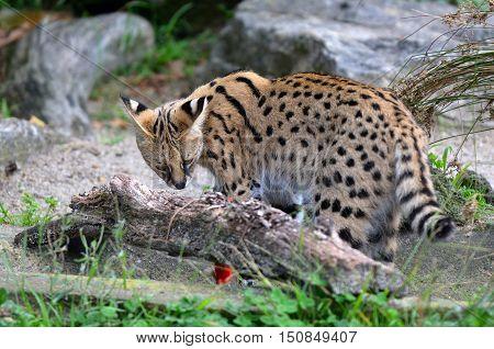 Serval - African Wild Cat