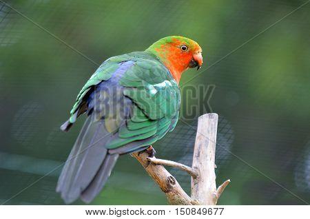 Male Australian King Parrot Sit On A Tree