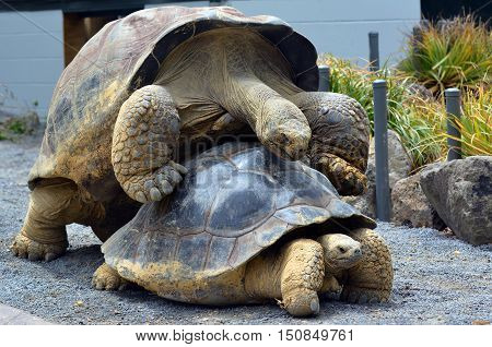 Two Galapagos Tortoise Mating