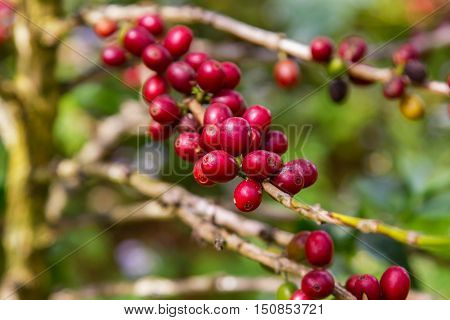 Coffee beans ripening on tree in North of Thailand