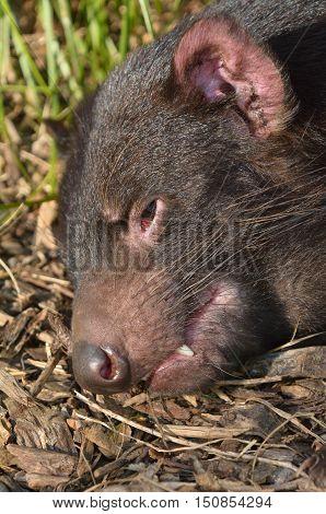 Close up of a head of an endangered Tasmanian Devil