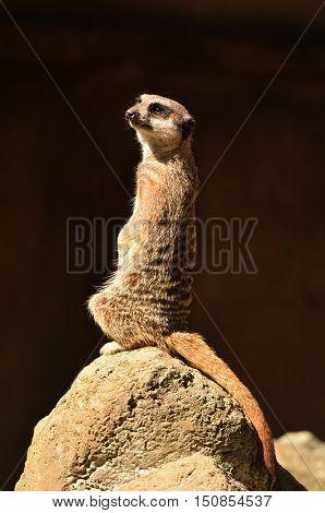Meerkat Standing Alert