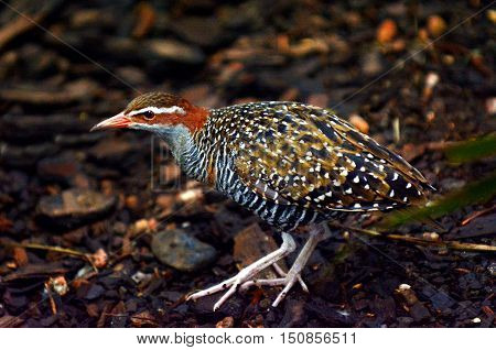 Buff-banded Rail Profile Side View