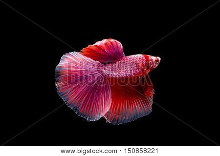 Siam Fighting Fish isolated on black background