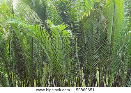 Coconut Palm Trees, Green Background