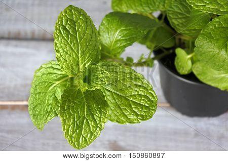 Mentha Longifolia Plant