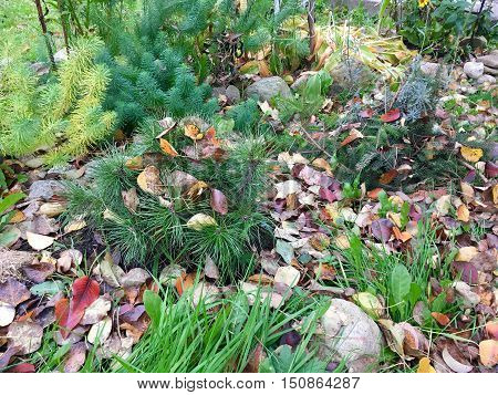 signs of autumn on the flower bed, all covered with fallen red and yellow leaves, little fuzzy pine, moss, similar to the Christmas tree, lavender, nestled in pine branches