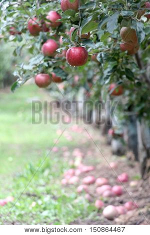 Apple Orchard ready for harvest. Mornig shot after the rain. shallow dof,