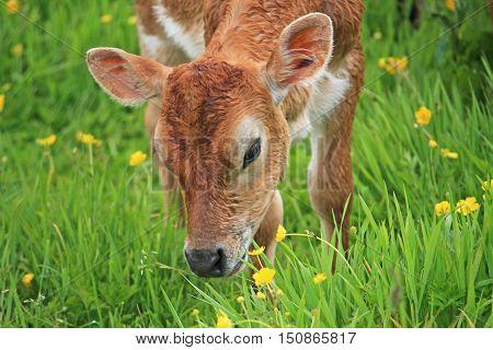 Calf grazing in a field of buttercups