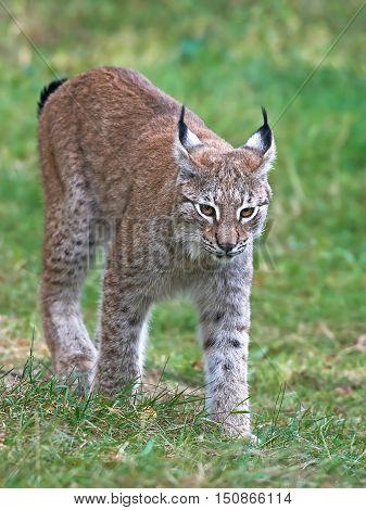 Eurasian lynx (Lynx lynx) walking in grass in its habitat