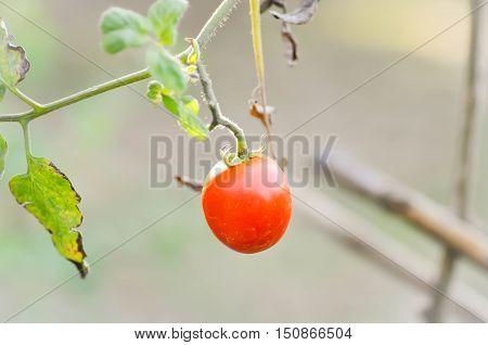 tomato plant in the vegetable garden , tomato