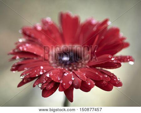 Beautiful gerbera flower in garden after rain with water drops.