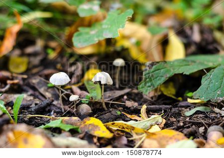 Pair Of Fragile Thin Mushrooms, In Moorland, In Forest.