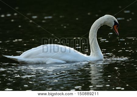 White swan swimming in water landscape back-lit close-up