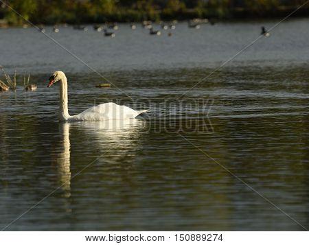 White swan swimming in water landscape well-lit