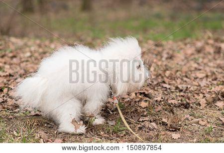 Bichon Havanese dog poops in park .