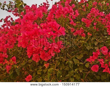 large bushes with red flowers growing in the yard