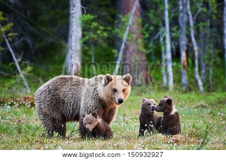 Mother bear protects her three little puppies in the finnish taiga