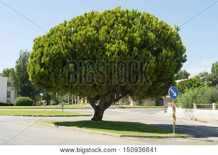 Big Pine Tree standing in Cabanas de Tavira in Portugal.