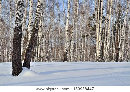 Sunny winter landscape in a birch forest. White with black birch trunks in dazzling white snow with shadows on the blue sky background