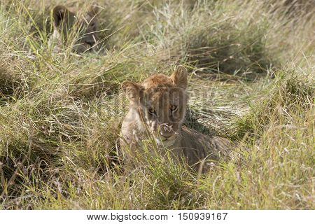 Juvenile african lion resting in long grass in front of lioness Masai Mara National Reserve Kenya Africa