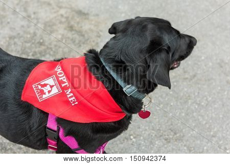 Washington DC, USA - September 24, 2016: Black labrador dog with red scarf and Adopt Me Humane Society text
