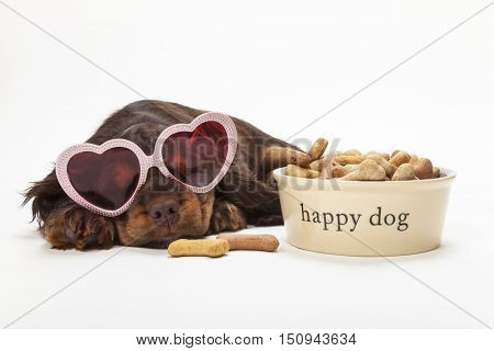 Cute Cocker Spaniel puppy dog laying down wearing pink heart shaped sunglasses by Happy Dog bowl of bone shaped biscuits