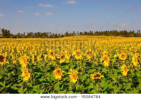 Landscap picture of a beautiful meadow with sunflowers