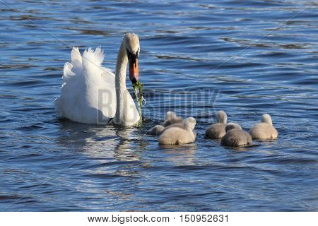 A female mute swan feeding her cygnets with pond weed.