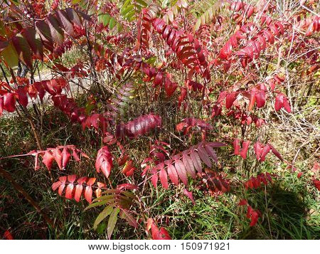 Fall Sumac bush in bright red color along a pathway.