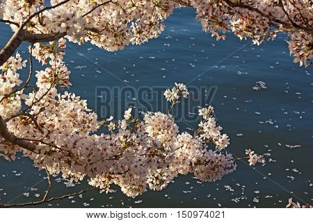 Cherry blossoms and Tidal Basin waters on background. Cherry tree flowers and petals against the water.