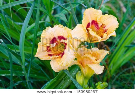 Beige And Red Daylily