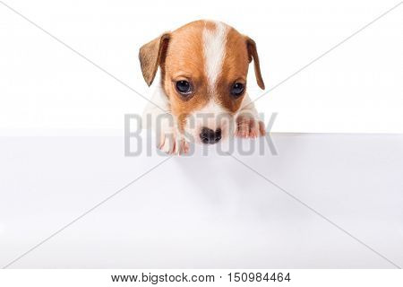 Jack Russell Terrier puppy with white poster for inscription  isolated on white background