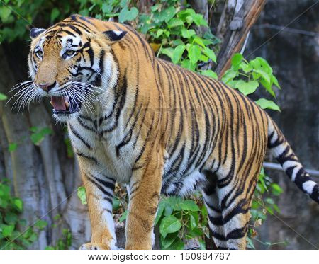 male Bengal tiger standing, facing camera at slight angle to the left, , zoo near Songkhla, Thailand