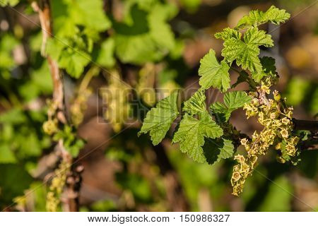 closeup of redcurrant flowers and leaves in springtime
