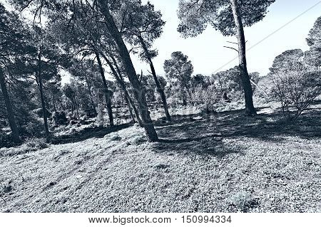 Forest on the Mount Tabor in Israel Stylized Photo