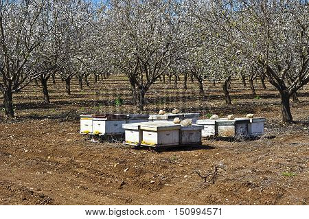 Apiary in Flowering Almond Garden at the Foot of the Mount Tabor in Israel