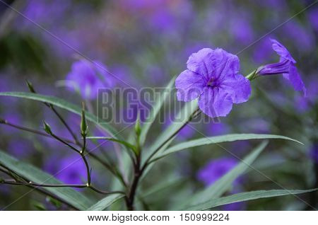 The blossoming ruellia brittoniana flowers closeup in garden