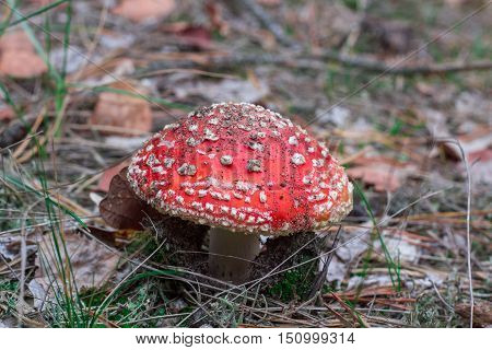 Deadly Toxic Poison Mushroom Red Blusher Fly-agaric In Acerose