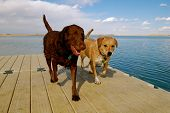 dogs walk on pier after swimming in the cool water poster