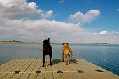 2 dogs stand on pier taking in the view before leaping in. poster