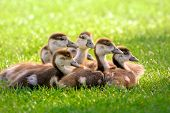 Seven young Canada Geese sitting together on fresh sunlit grass poster