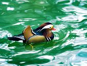 Mandarin duck in turquoise water close up poster